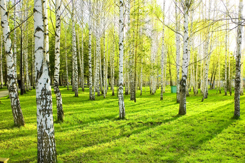 Download Birch forest stock photo. Image of grow, trees, scenics - 5408778