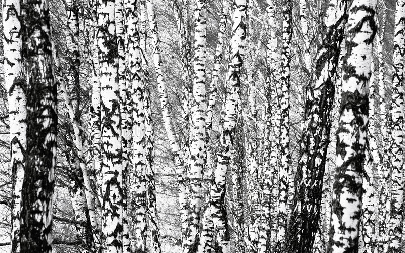Download Birch forest stock photo. Image of outdoor, forest, winter - 8850730