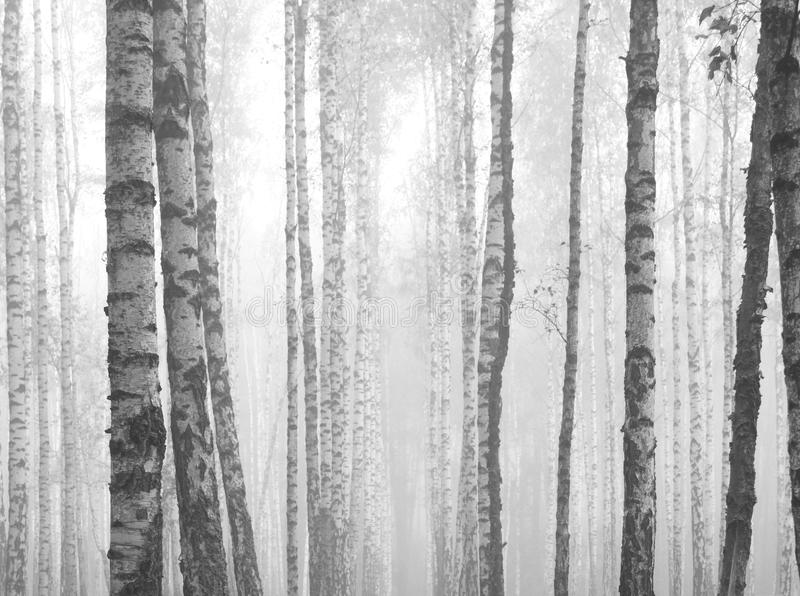 Birch forest, black-white photo royalty free stock images