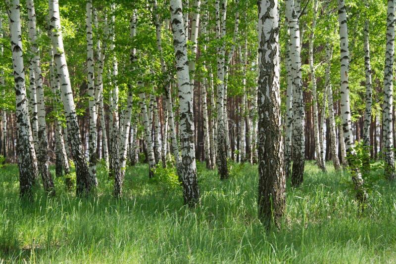 Birch forest stock photos