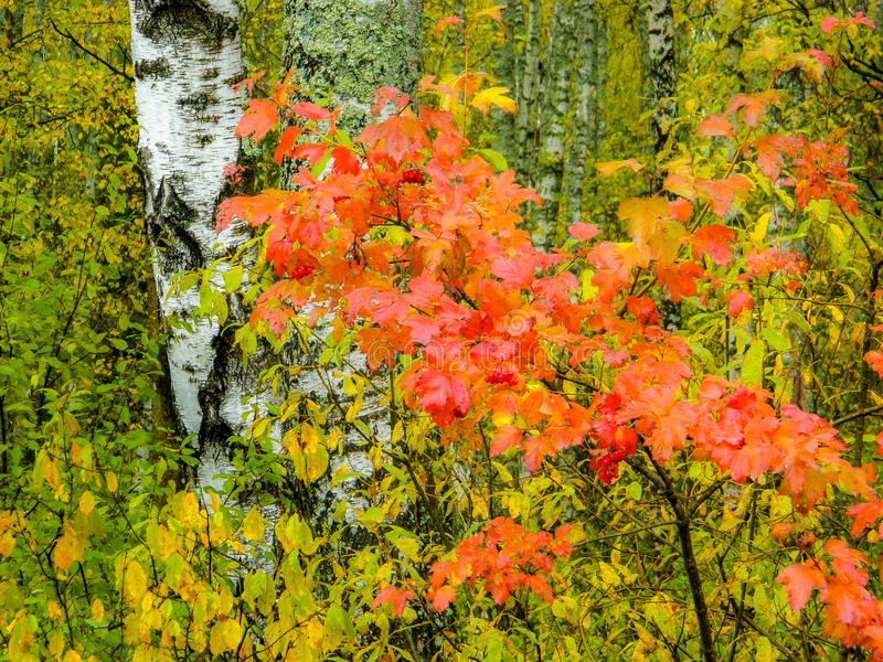 Birch forest in Central Russia in the fall. In autumn season the birch forests are particularly beautiful and gives the landscape even more charming royalty free stock image