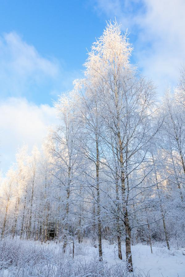 Birch forest with frost and snow royalty free stock photo