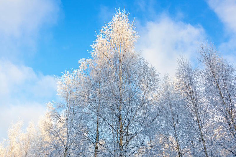 Birch forest with frost stock images