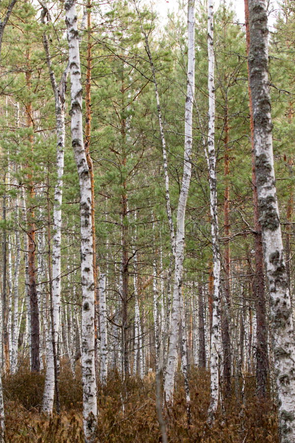 The birch forest royalty free stock images