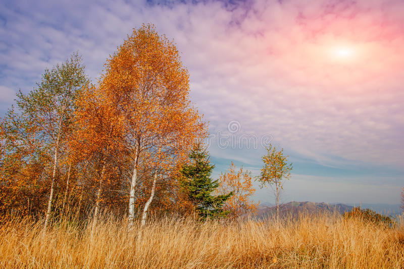 Birch forest in sunny afternoon while autumn season stock image