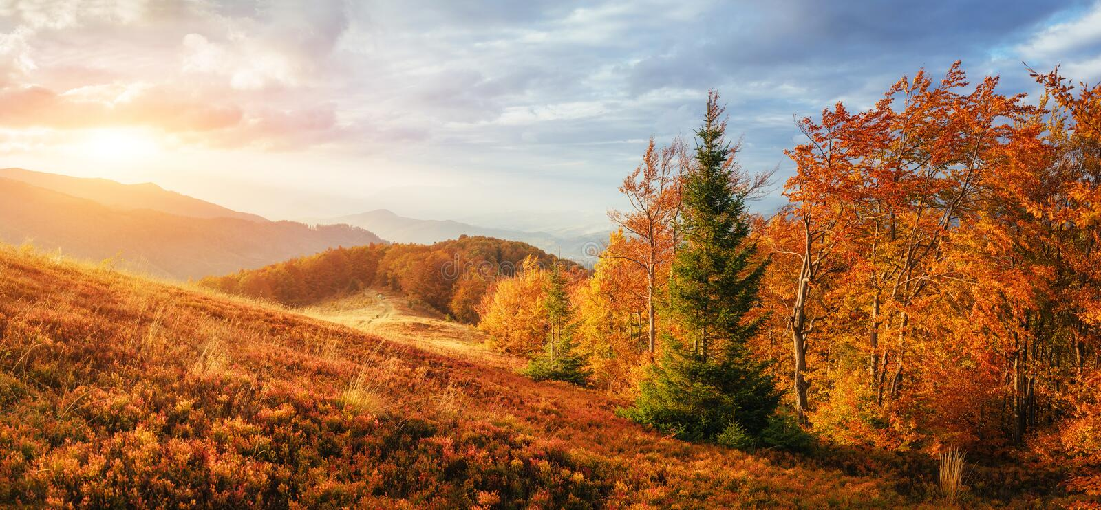 Birch forest in sunny afternoon while autumn season stock photos