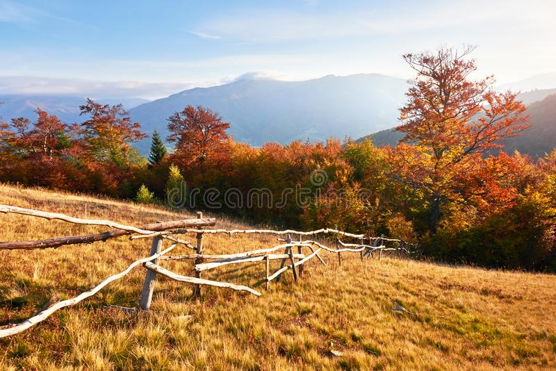 Birch forest in sunny afternoon while autumn season. Autumn Landscape. Ukraine. Europe. Birch forest in sunny afternoon while autumn season. Autumn Landscape stock photo