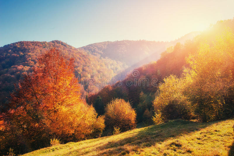 Birch forest in sunny afternoon while autumn season. Landscape. Ukraine. Birch forest in sunny afternoon while autumn season. Landscape Ukraine royalty free stock photography