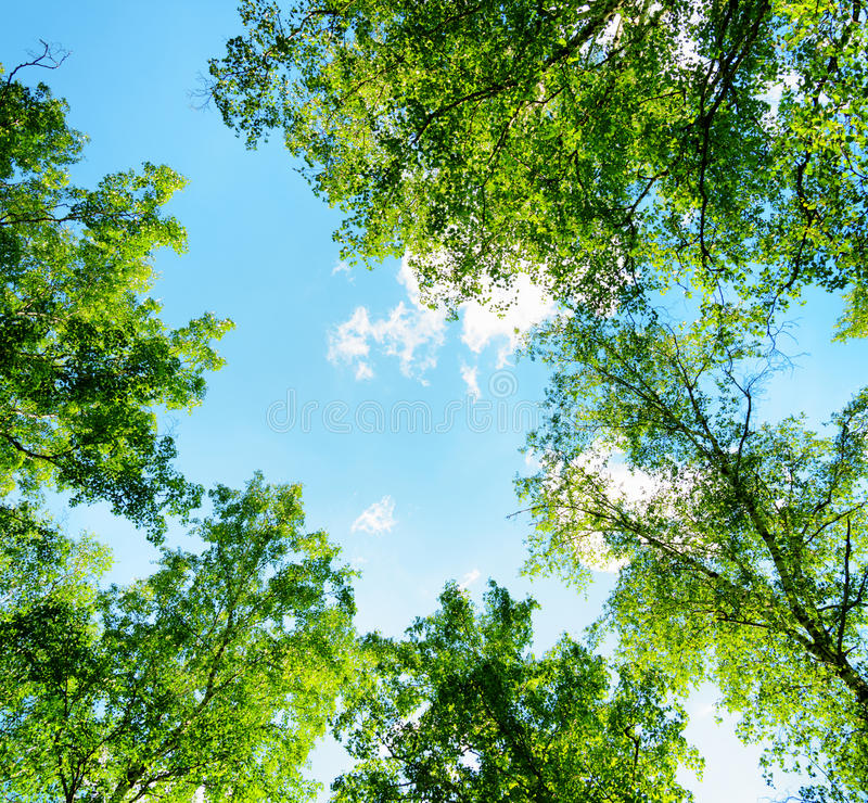 Birch forest on a sunny day. Green woods in summer stock photos