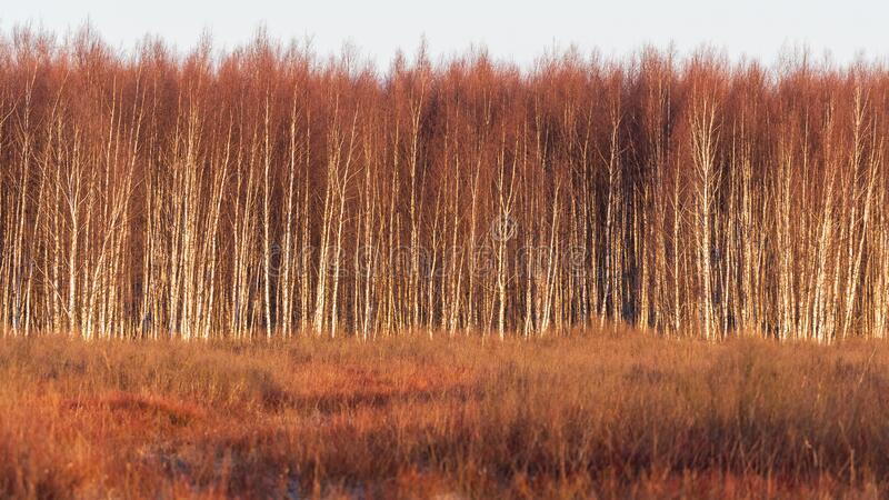 Birch forest in warm sunrise light royalty free stock photos