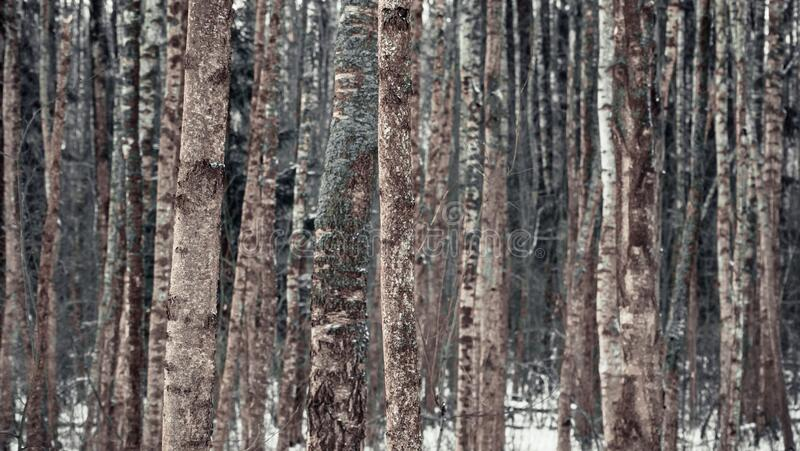 Birch forest in winter with a blue tinge of bark.  stock image
