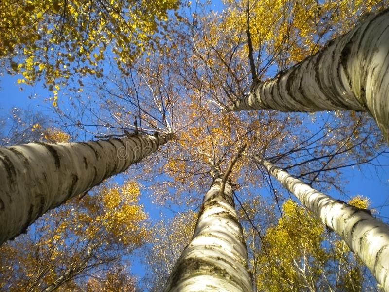 Birch go head to top in the blue autumn sky stock photo
