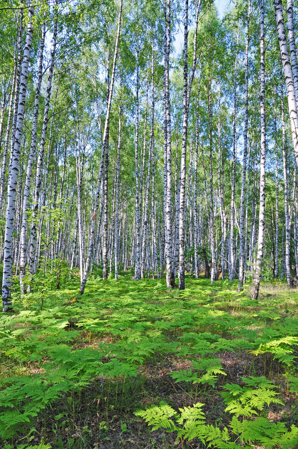 Birch grove. stock photos