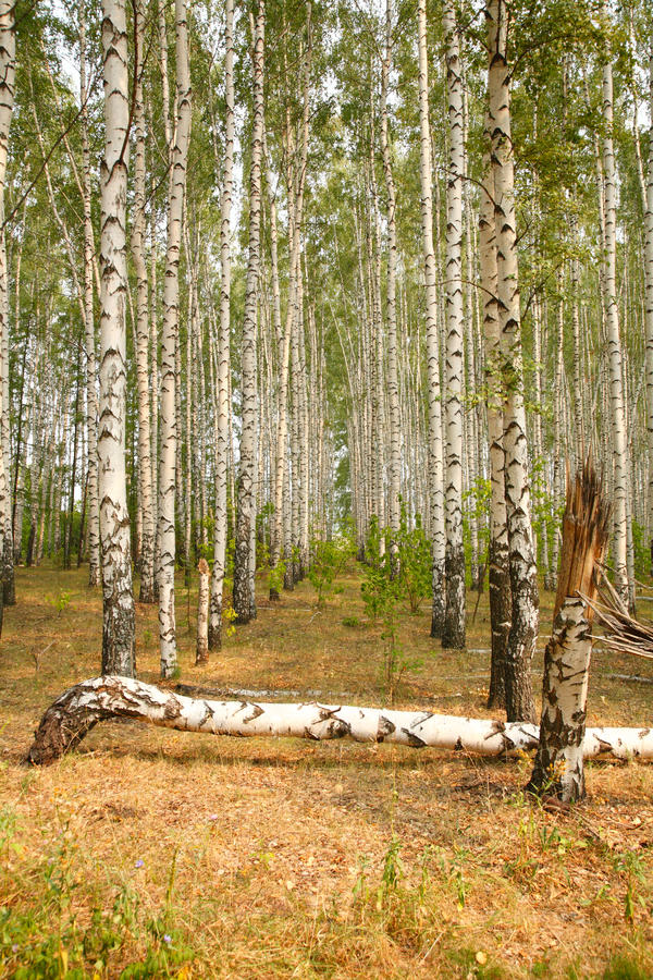 Download Birch grove stock image. Image of sunlight, harmony, landscape - 16070109