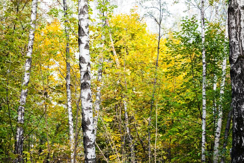 birch grove in autumn forest in sunny october day stock image
