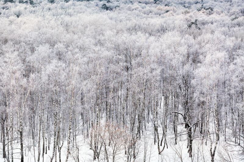 Birch grove covered by snow in cold winter day. Above view of birch grove covered by snow in cold winter day stock image
