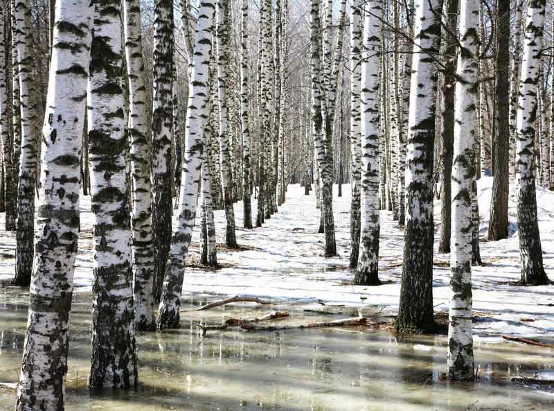 Birch grove in early spring water. In the sunny morning stock photo