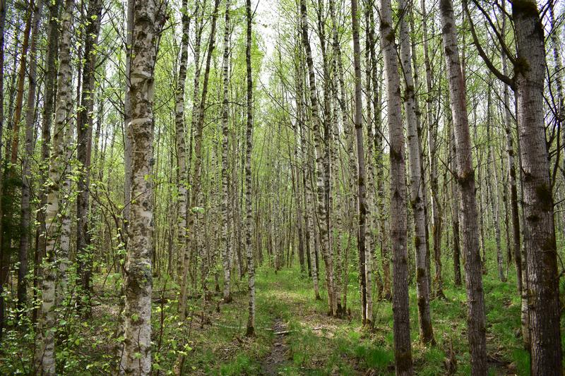 Birch grove forest, birch unusually beautiful tree stock image