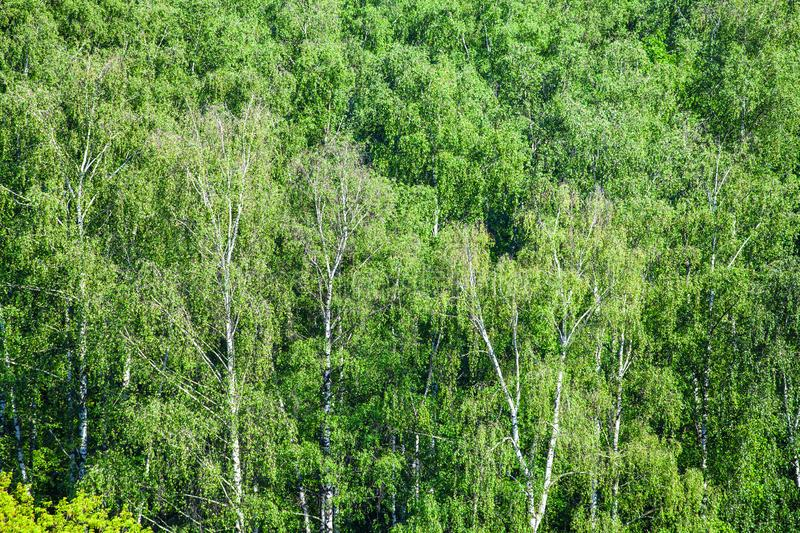 Birch grove in green forest in sunny summer day royalty free stock photo