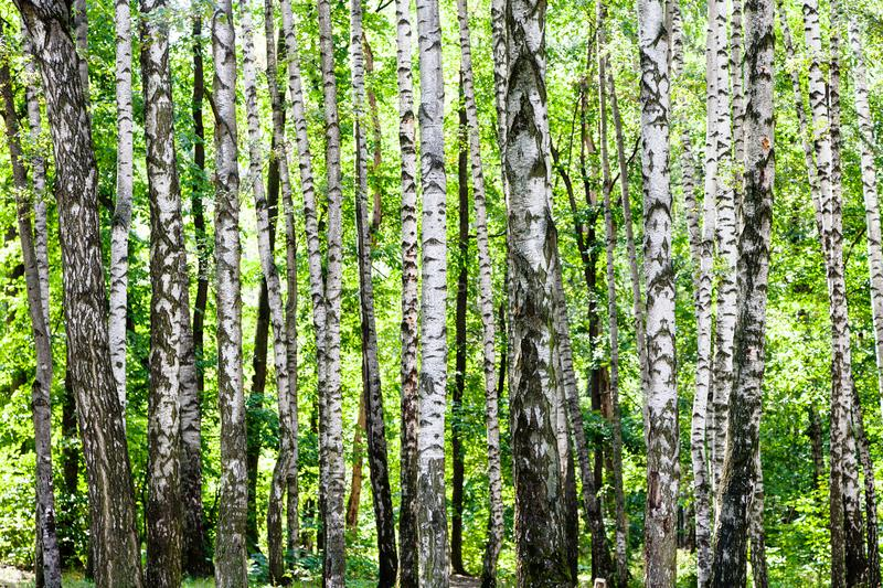 birch grove in green woods on sunny summer day royalty free stock photos