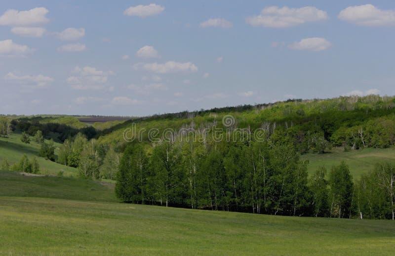Birch grove in the gully stock photo