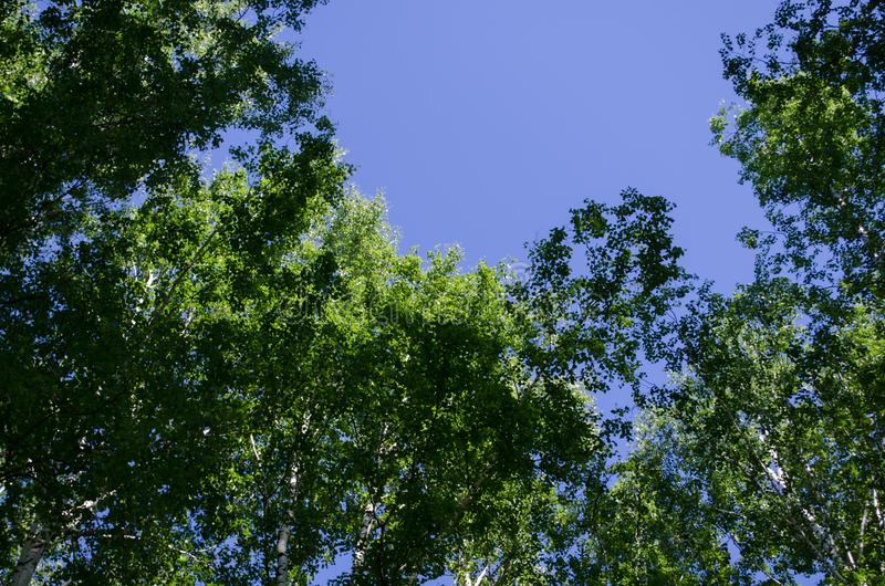 Birch grove. The high crowns of the birches. Photo background of tree branches and blue sky royalty free stock image