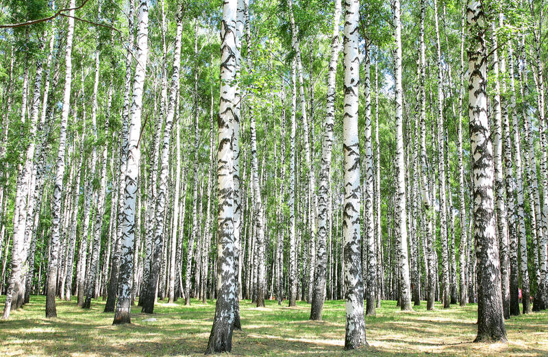 Download Birch grove in july stock image. Image of alley, fresh - 25706815