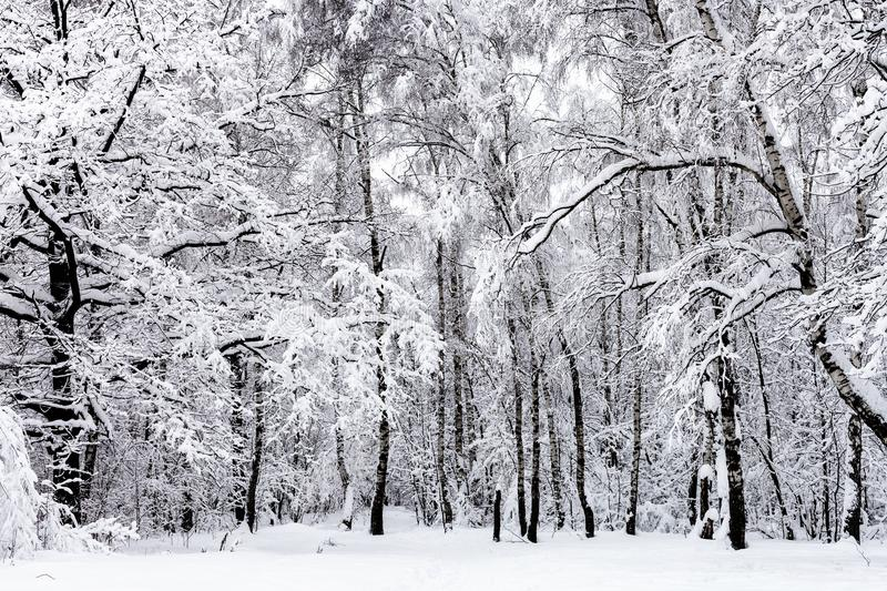 birch grove and oak tree in snowy forest in winter royalty free stock photography