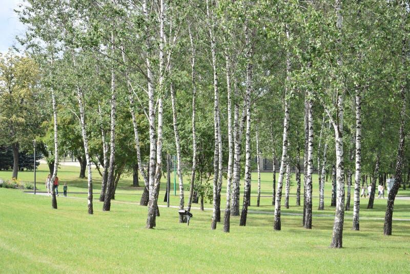 Birch grove in the park. stock image