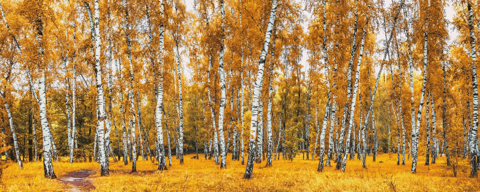 Birch grove with a road on sunny autumn day royalty free stock images