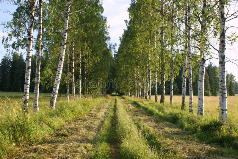 Birch grove, Russia stock photo