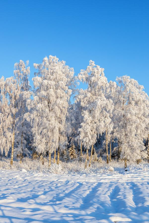 Birch grove with snow and hoarfrost royalty free stock photography