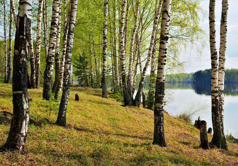 Download Birch Grove stock image. Image of spring, foliage, coast - 33327313