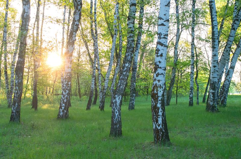 Birch grove, sun through the trees. Morning sunrise royalty free stock image