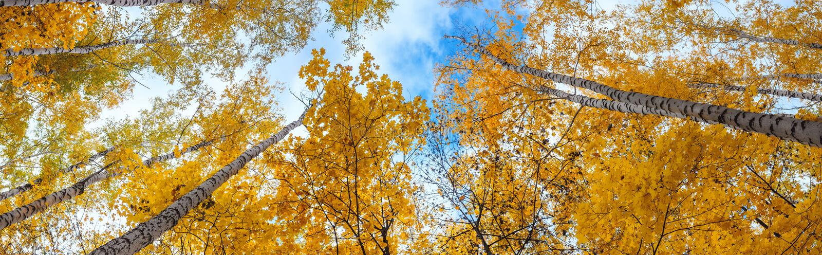 Birch grove view of the crown of the trees and sky on sunny autumn day. Panorama, banner stock photo