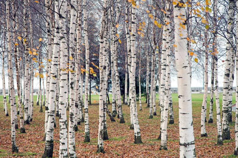 Birch grove with white tree trunks in the fall stock photos