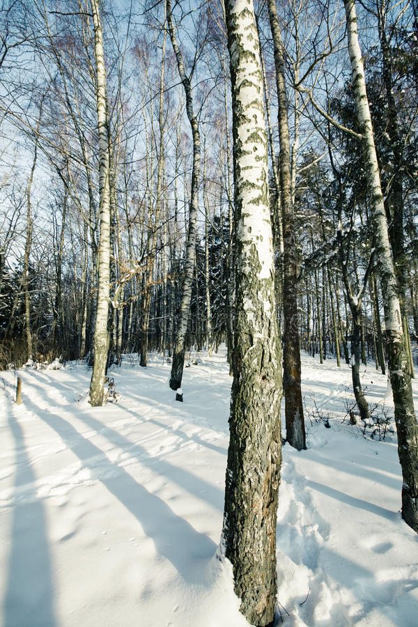 Download Birch grove in winter stock image. Image of birch, blue - 12790337