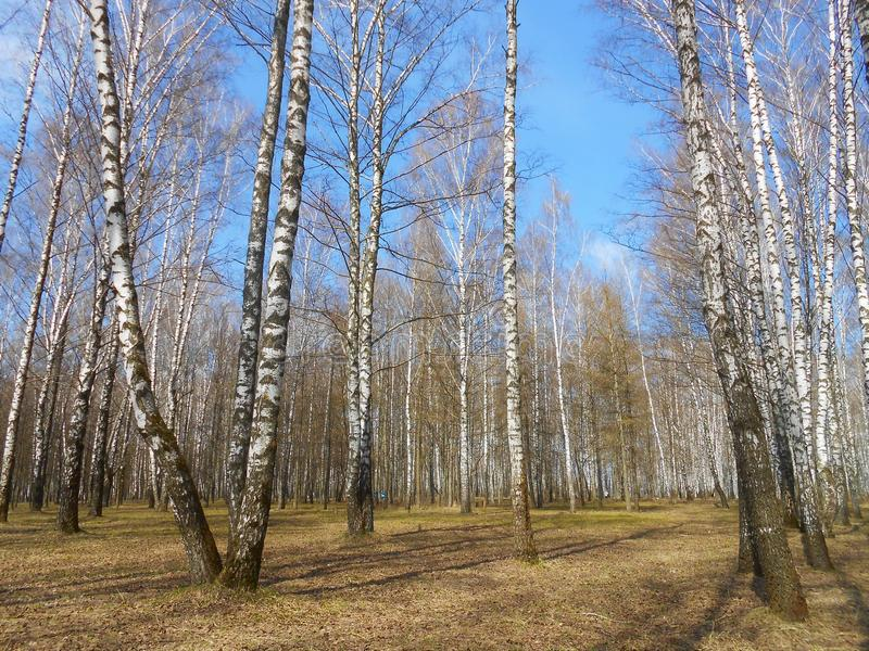 Birch grow in the spring. Birch grow in the early spring. Sunny clear April day, shadows from the trees lays on the ground royalty free stock photo