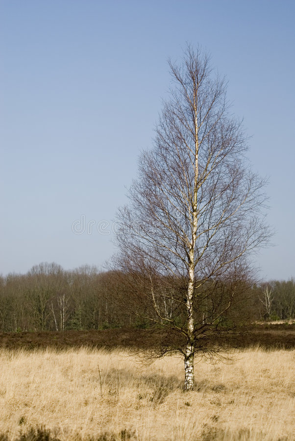 Birch in the heathland. Birch solitaire in the heathland stock images