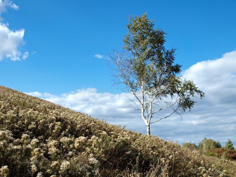 Birch on a hillside stock photos