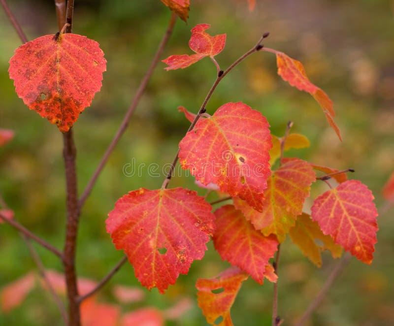 birch jesienią zdjęcie stock