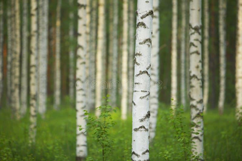 birch las fotografia stock