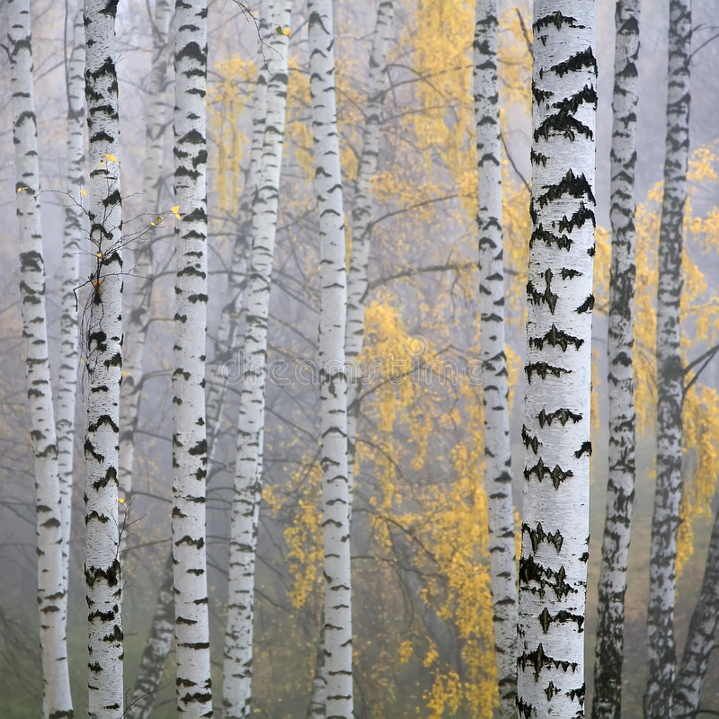 birch las obraz stock