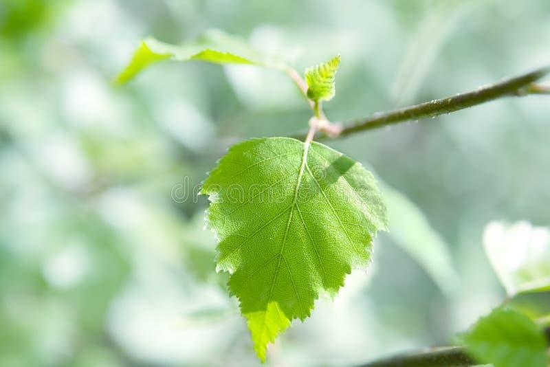 Birch leaf stock photos