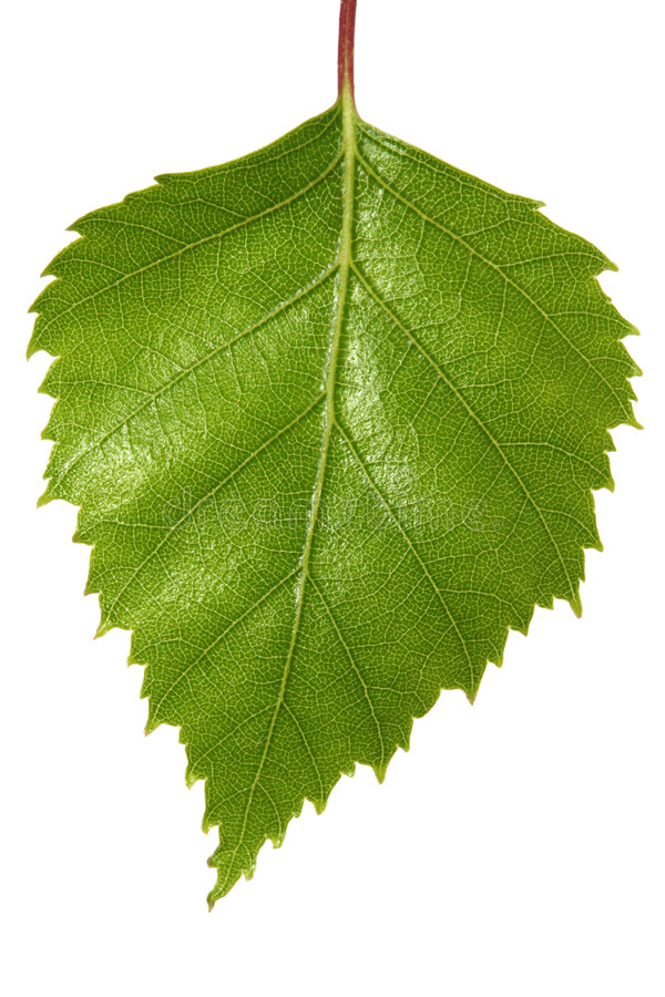 Free Birch Leaf Stock Images - 6594584