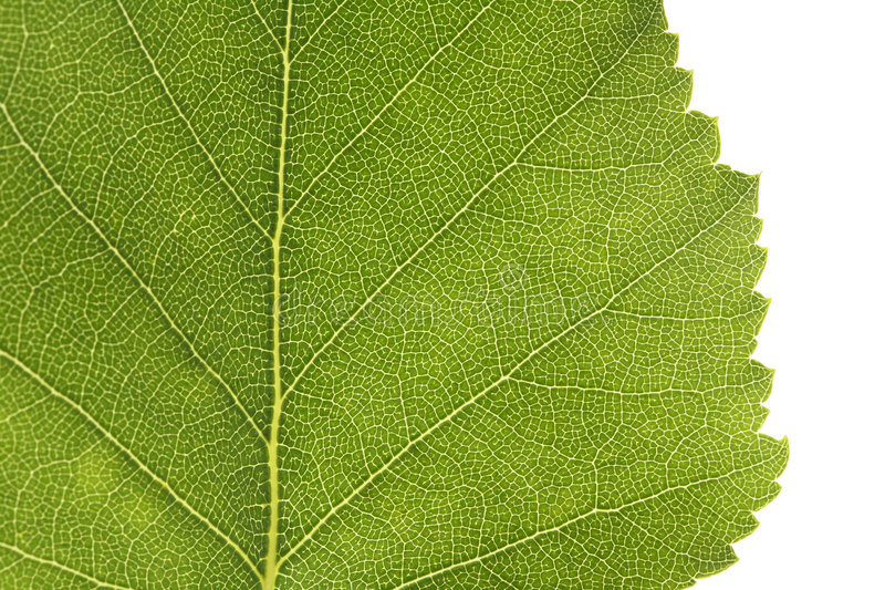 Download Birch leaf stock image. Image of edge, birch, green, natural - 7655495