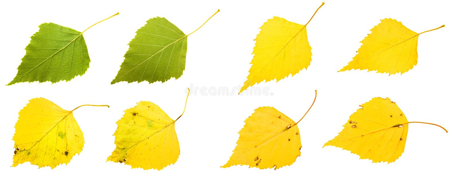 Download Birch leaves stock image. Image of climate, close, nobody - 22211829
