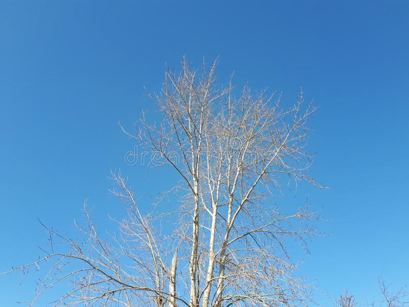 Birch without leaves against the blue sky stock photography