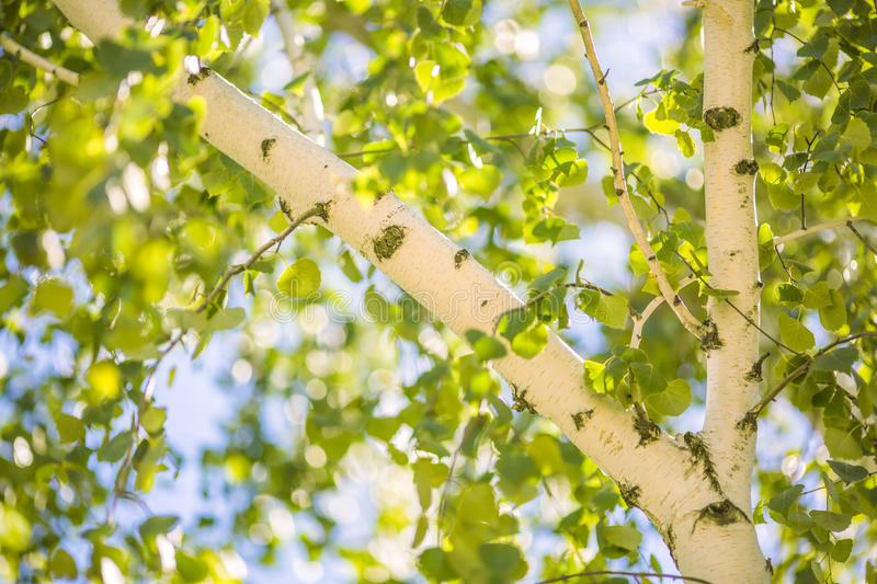 A birch and leaves of a birch tree in summer green leaves and trunk download a birch and leaves of a birch tree in summer green leaves and trunk mightylinksfo