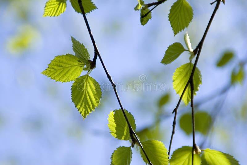 Birch leaves on blue skies. Fresh green birch leaves on blue skies royalty free stock images